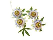 Fiori della passiflora su bianco Fotografia Stock Libera da Diritti
