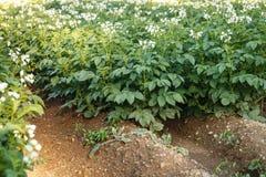 Fiori della patata che fioriscono nel campo Immagine Stock