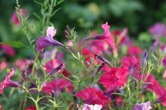 Fiori della petunia nel giardino Immagine Stock