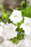 Fiori della petunia fotografie stock