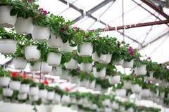 Fiori della petunia in vasi Immagine Stock Libera da Diritti
