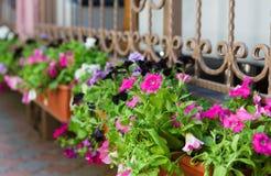 Fiori della petunia in vasi fuori delle finestre Fotografie Stock Libere da Diritti
