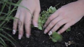 Fiori della pianta della donna in un giardino anteriore mani e fiore del primo piano video d archivio