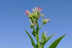 Fiori della pianta di tabacco immagini stock