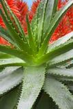 Fiori della pianta di vera dell'aloe Immagini Stock Libere da Diritti