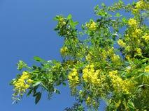 fiori della pioggia dorata di angioplastica del bobovnik Immagine Stock