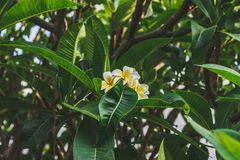 Fiori della plumeria su un cespuglio Bei fiori tropicali Immagine Stock