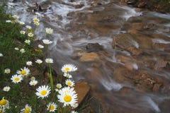 Fiori della pratolina della margherita bianca Fotografie Stock Libere da Diritti
