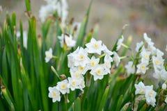 Fiori della prima fioritura della primavera Fotografie Stock