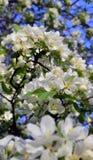 Fiori della primavera Immagini Stock Libere da Diritti