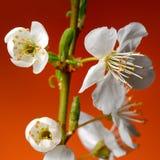 Fiori della primavera Fotografia Stock Libera da Diritti