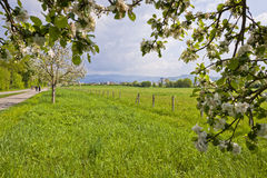Fiori della primavera degli alberi da frutto Fotografia Stock Libera da Diritti