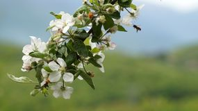 Fiori della primavera del ` baciati da un ` dell'ape fotografie stock libere da diritti