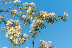 Fiori della primavera del pero di fioritura nella primavera immagine stock libera da diritti