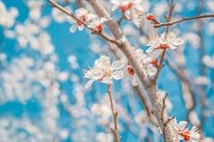 Fiori della primavera dell'albero di albicocca, macro Foto tonificata Immagine Stock