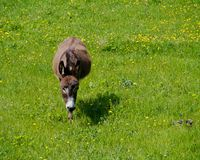 Fiori della primavera e un asino Fotografie Stock