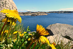 Fiori della primavera fra le rocce Fotografie Stock