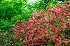Fiori della primavera in Isabella Plantation, Richmond Park immagine stock libera da diritti