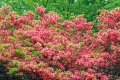 Fiori della primavera in Isabella Plantation, Richmond Park immagini stock