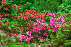 Fiori della primavera in Isabella Plantation, Richmond Park fotografie stock