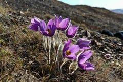 Fiori della primavera nella tundra Fotografie Stock