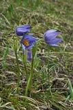 Fiori della primavera nella tundra Pulsatilla vulgaris Immagini Stock