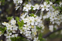 Fiori della primavera su un albero immagine stock libera da diritti