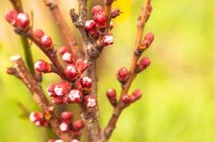 Fiori della primavera sul ramo nel giardino immagini stock libere da diritti