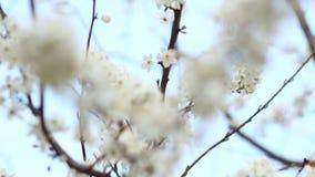 Fiori della primavera sull'albero sul fondo del cielo Fiori bianchi sui rami della ciliegia archivi video