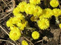 Fiori della primavera in un'abetaia Fotografia Stock