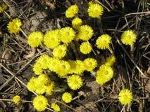 Fiori della primavera in un'abetaia Fotografie Stock Libere da Diritti