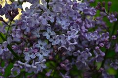 Fiori della primavera, un ramo lilla con i fiori e germogli su un fondo di fogliame verde fotografia stock libera da diritti