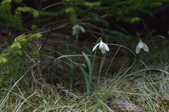 Fiori della primavera in una foresta della montagna Fotografia Stock