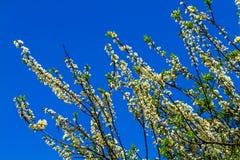 Fiori della prugna con il fondo del cielo blu Fotografia Stock