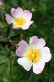 Fiori della rosa canina (canina di Rosa) Fotografia Stock