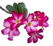 Fiori della rosa del deserto Fotografie Stock