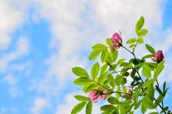 Fiori della rosa di rosa selvaggio del cinorrodo contro cielo blu Fotografie Stock Libere da Diritti