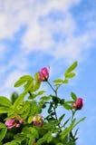 Fiori della rosa di rosa selvaggio del cinorrodo contro cielo blu Fotografia Stock