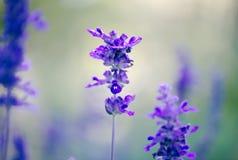Fiori della salvia di Salvia Farinacea Victoria Blue Mealycup Fotografia Stock