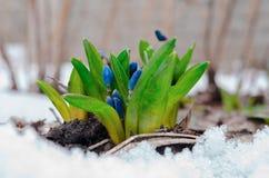 Fiori della scilla marina che spingono attraverso la neve Fotografie Stock