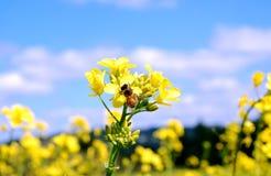 Fiori della senape e dell'ape Fotografia Stock
