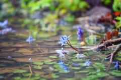 Fiori della sorgente in azzurro fotografia stock libera da diritti