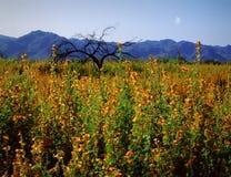 Fiori della sorgente del deserto dell'Arizona con la luna Fotografia Stock