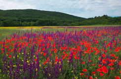 Fiori della sorgente nel campo Bello paesaggio Fotografie Stock Libere da Diritti