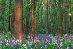 Fiori della sorgente nella foresta Fotografia Stock Libera da Diritti