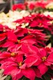 Fiori della stella di Natale con le brattee luminose Immagini Stock Libere da Diritti