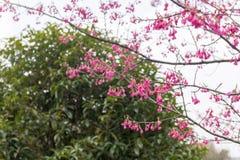 Fiori della Vassiljeva-ciliegia di campanulata di Cerasus Immagini Stock Libere da Diritti