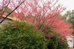 Fiori della Vassiljeva-ciliegia di campanulata di Cerasus Fotografia Stock Libera da Diritti