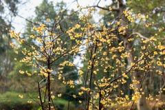 Fiori della Vassiljeva-ciliegia di campanulata di Cerasus Fotografia Stock