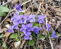 Fiori della viola della primavera Immagine Stock